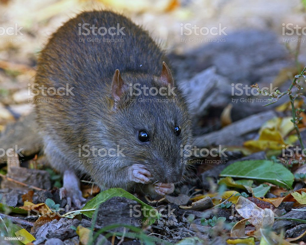 Mexican Woodrat stock photo