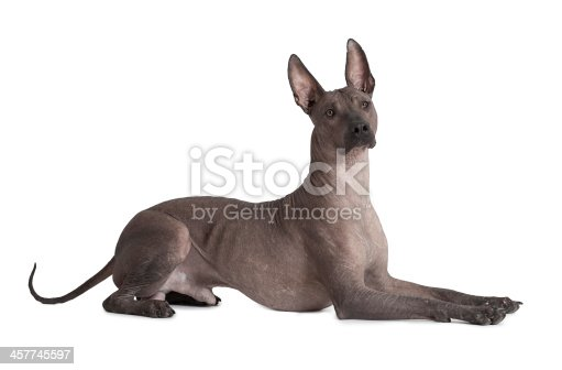 One and half years old Mexican xoloitzcuintle male dog over white .