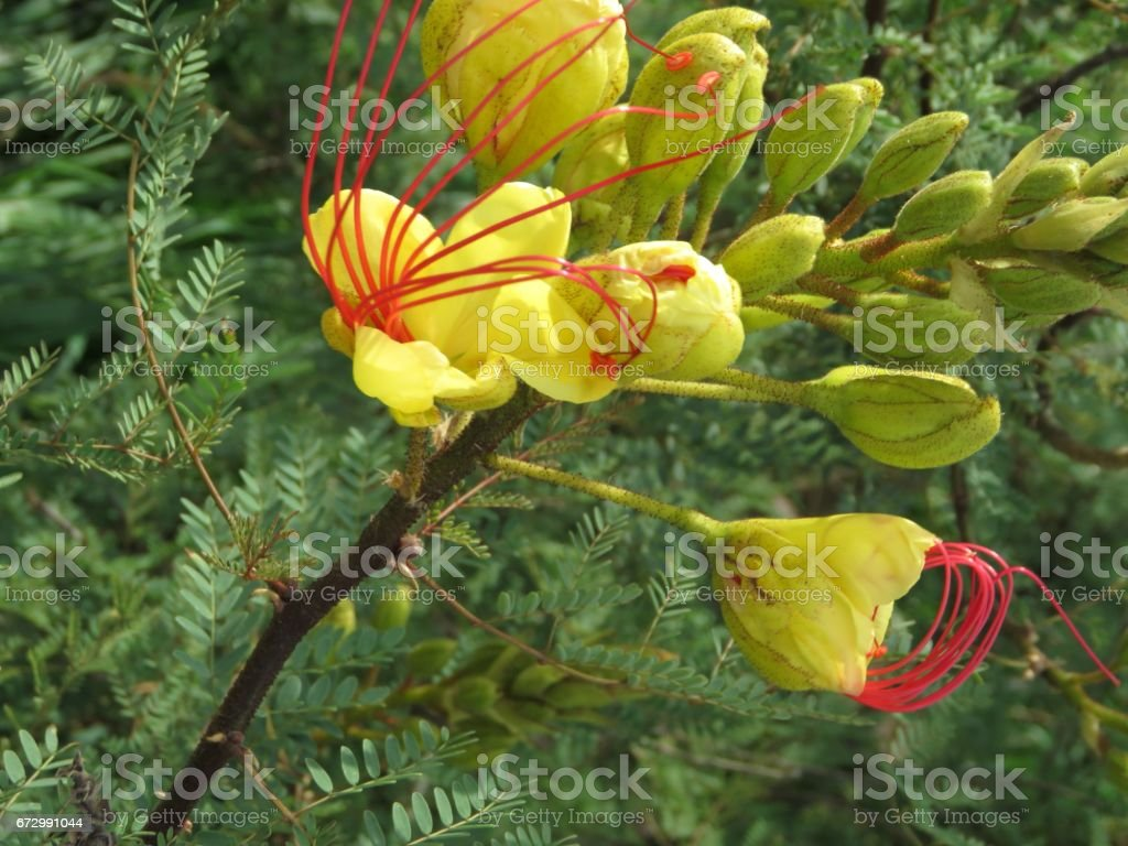 Mexican Yellow Bird Of Paradise Bush Stock Photo More Pictures Of