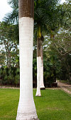 Mexico: Tall Palm Trees with Painted White Trunks in a Row. Shot in the Yucatan Peninsula.