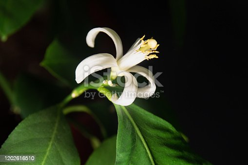A close up photo of an indoor Meyer Lemon blossom during the winter months.