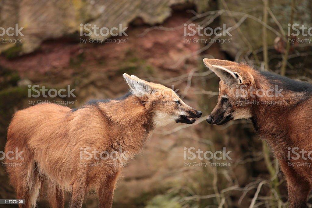 Mähnenwölfe im Zoo stock photo