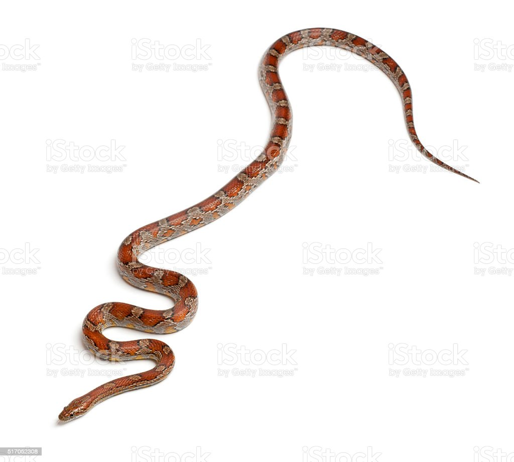 Miami Corn Snake or Red Rat Snake, Pantherophis guttatus, stock photo