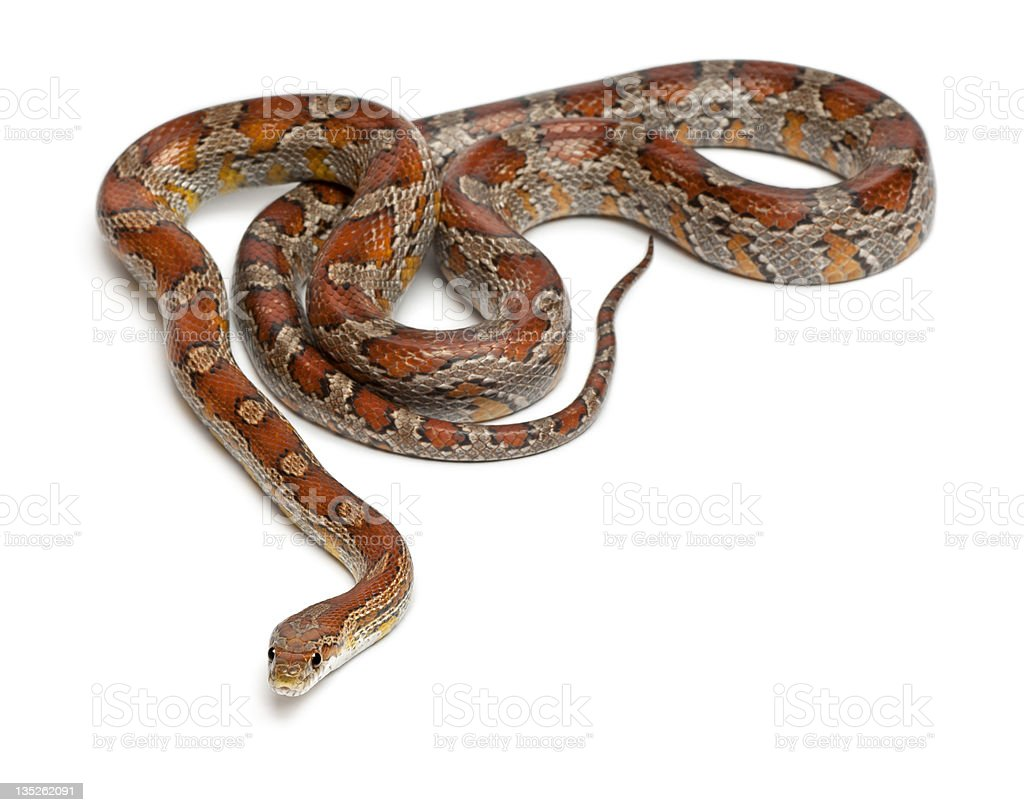 Miami Corn Snake, Pantherophis guttatus, in front of white background stock photo