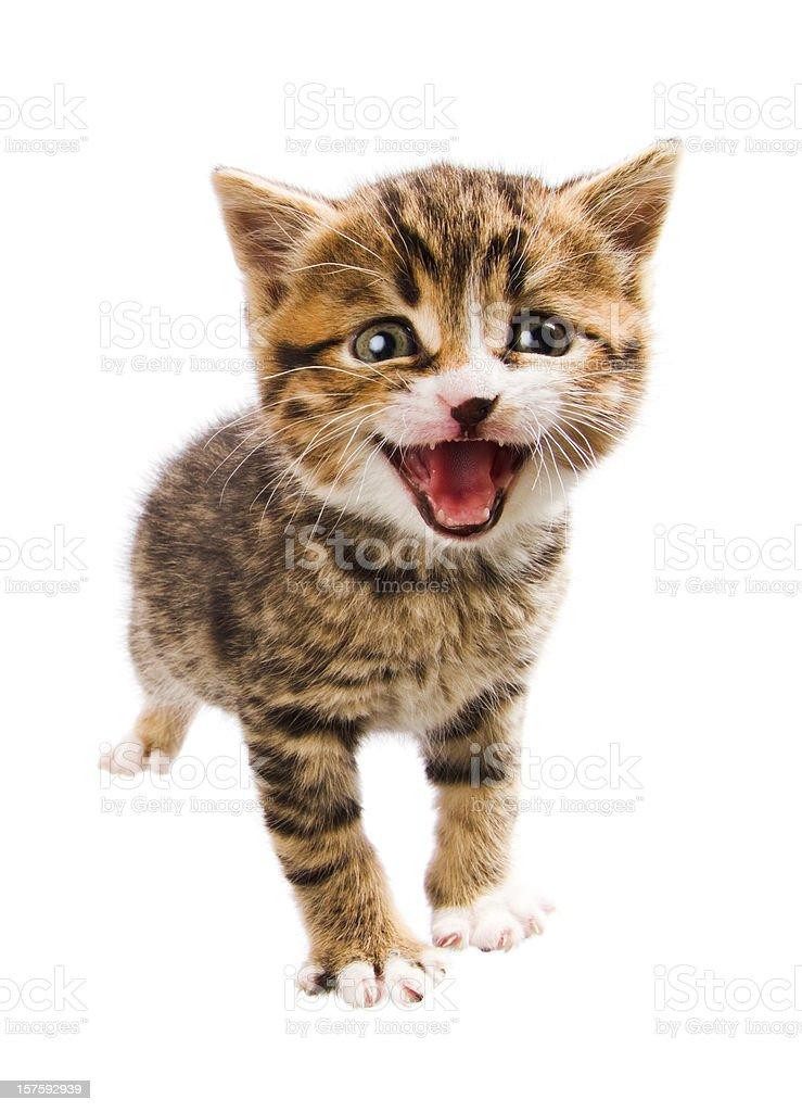 miaowing kitten stock photo