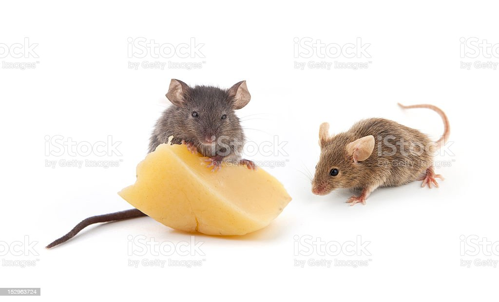Mice and cheese royalty-free stock photo