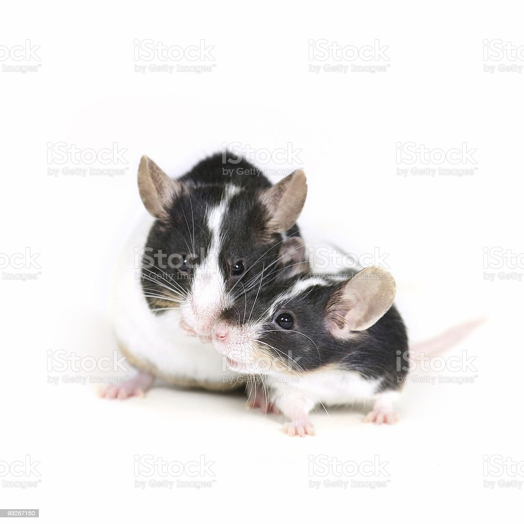 mice in love 2 stock photo