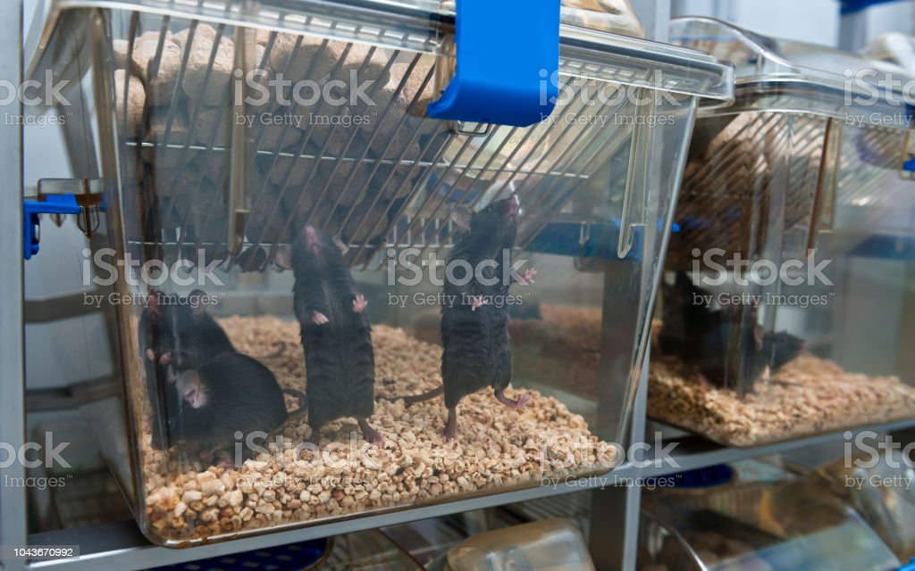 C57BL/6 mice in the IVC cage to protect virus infection stock photo
