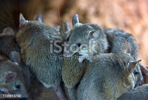 anatolian mouse
