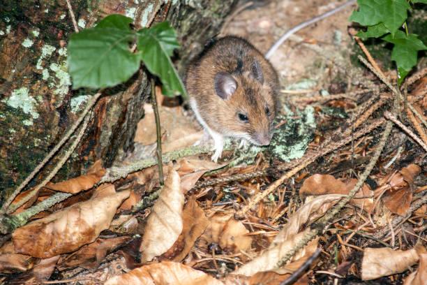 mice – Foto