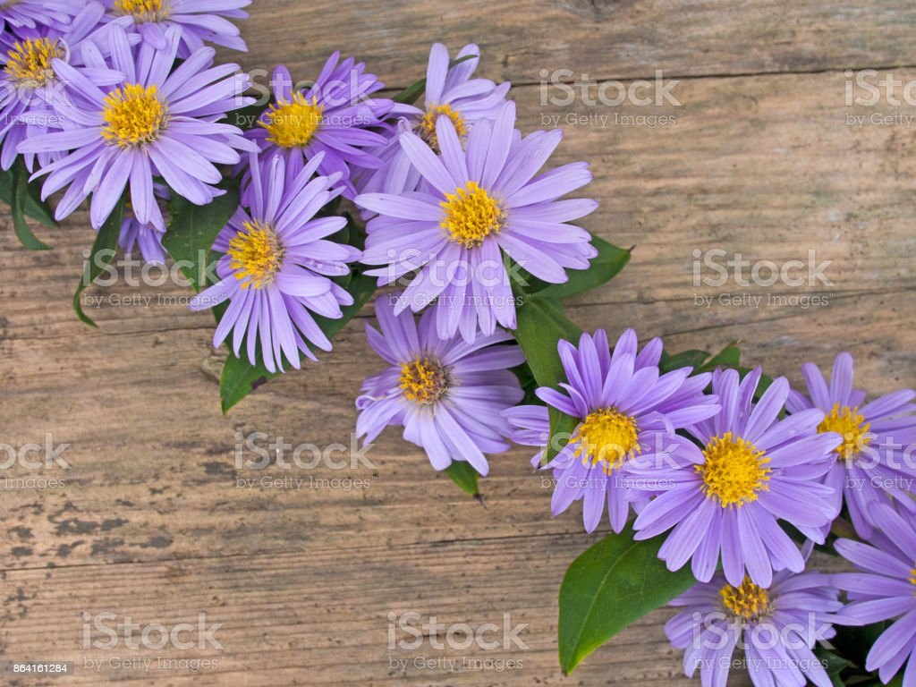 Michaelmas daisies, asters lying on wooden board. royalty-free stock photo