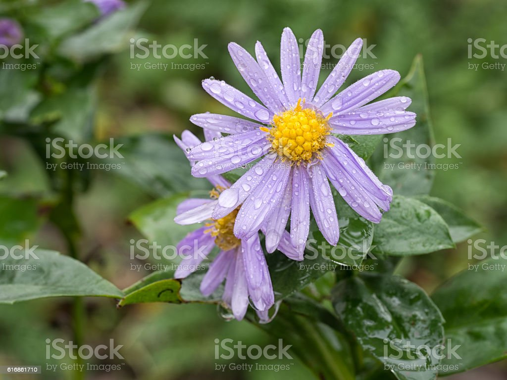 Michaelmas daisy flowers after rain stock photo more pictures of aster daisy flower plant europe izmirmasajfo