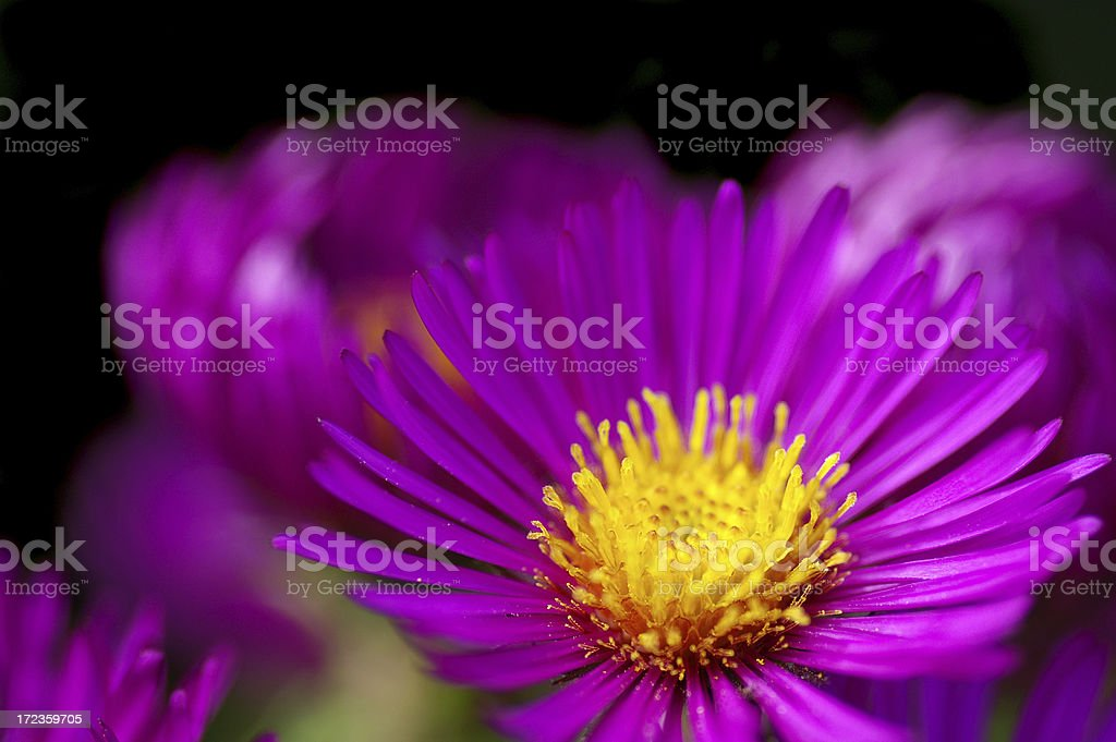 Michaelmas daisy royalty-free stock photo