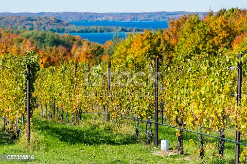 Grape vines in a vineyard on the Old Mission Peninsula outside of Traverse City, Michigan during autumn.