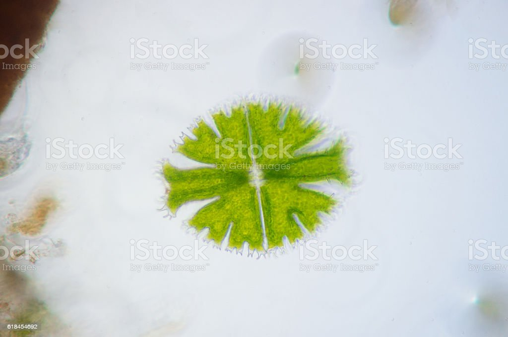 Micrasterias is a unicellular green alga under microscope view stock photo