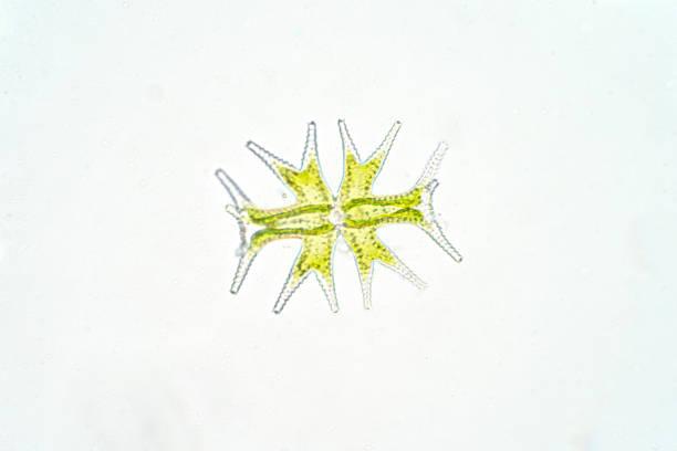 micrasterias ist eine einzellige grünalgen unter dem mikroskop betrachtet phytoplankton - einzeller mikroorganismus stock-fotos und bilder