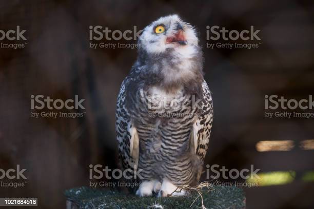 Micrathene whitneyi the owl owl screaming picture id1021684518?b=1&k=6&m=1021684518&s=612x612&h=6genpnggwgqad9ej8odmamyykhifbhscuawsgtbgnsk=