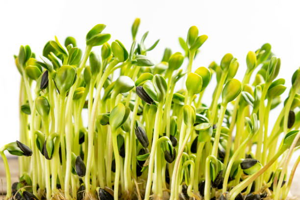 Micro greens. Germinated sunflower seeds, close up. stock photo