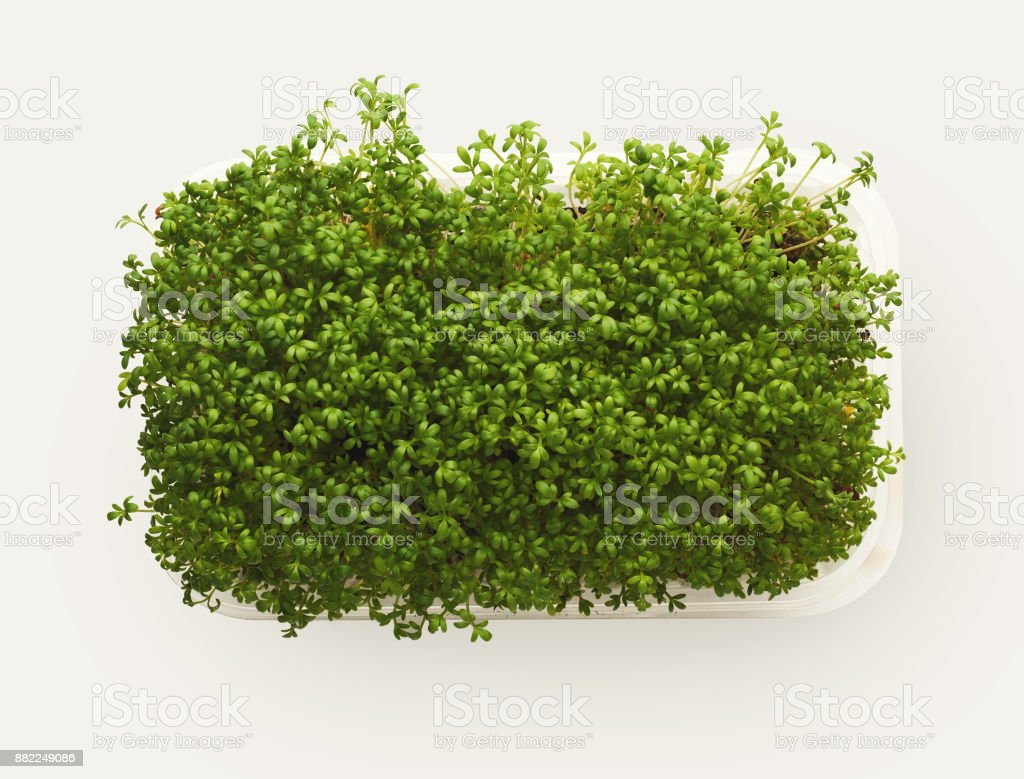Micro greens growing in plastic bowl top view, isolated stock photo