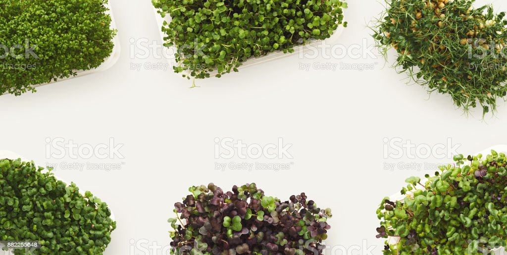 Micro greens growing in plastic bowl top view stock photo