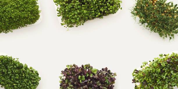 Micro greens growing in plastic bowl top view Growing micro greens isolated on white background, copy space, top view. Assortment of baby sprouts in plastic bowls, mockup for healthy eating and organic restaurant cooking advertisement microgreen stock pictures, royalty-free photos & images