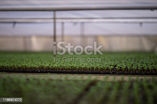 Micro greens in greenhouse