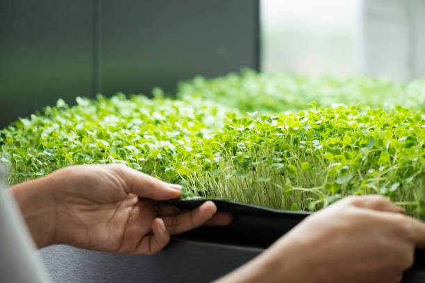 Micro Greens Over the shoulder view of a woman's hands who is examine her micro green trays in her micro green garden. microgreen stock pictures, royalty-free photos & images