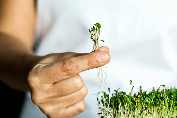 Micro Greens Woman holding micro greens. microgreen stock pictures, royalty-free photos & images