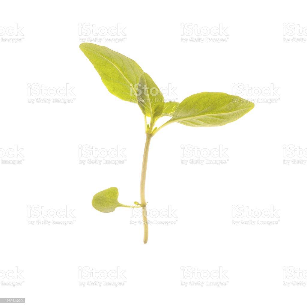 Micro Thai Basil on white background stock photo