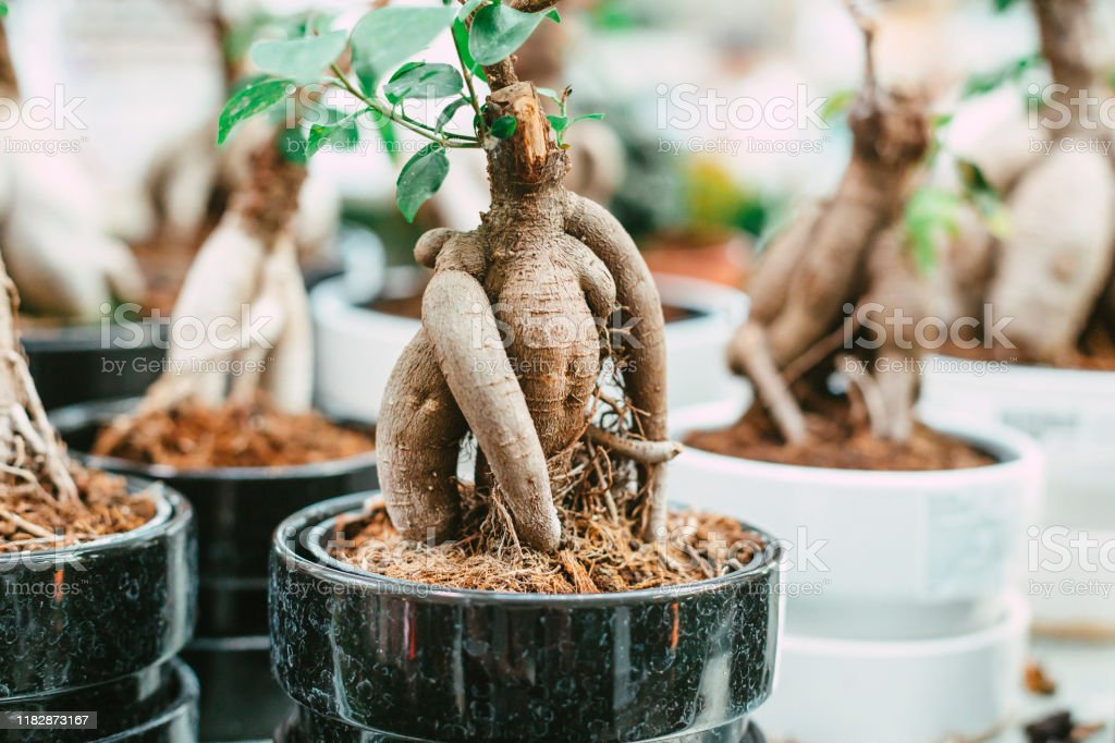 Microcarpa Ficus Ginseng In Bonsai Tree Style A Lot Of Little House Plant In Flowerpot Concept Of Natural House Decor Stock Photo Download Image Now Istock