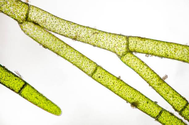 micrograph of marine green algae, Cladophora species stock photo
