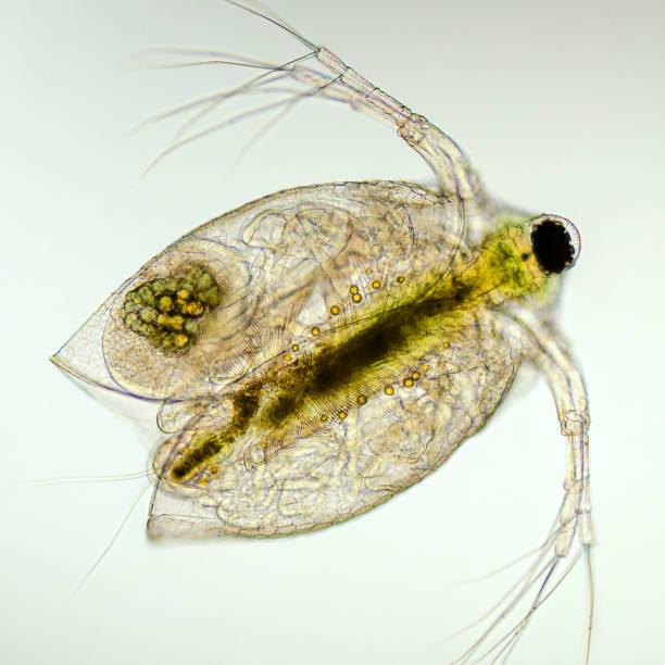micrograph ventral view of daphnia, Daphniidae family stock photo