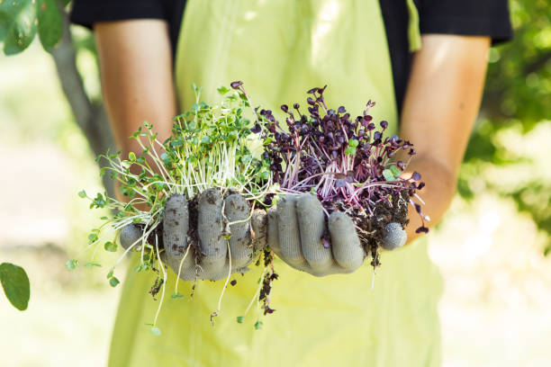 Microgreen in hands on the natural background Fresh microgreen in hands on the natural background on a sunny day microgreen stock pictures, royalty-free photos & images