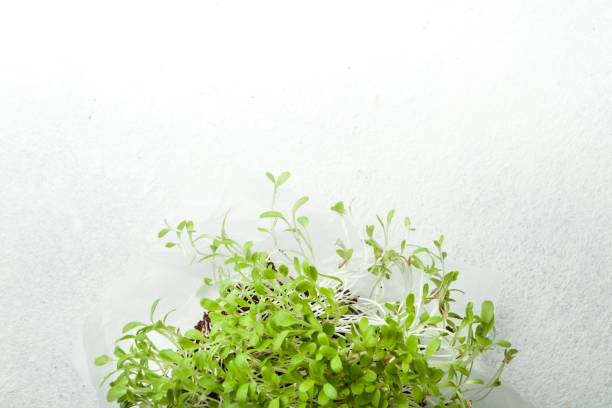 Micro-green salad Growing microgenes on a white background, copy space. microgreen stock pictures, royalty-free photos & images