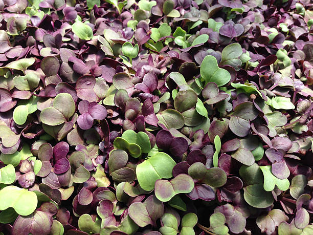 Microgreens - radish close up A close-up of radish microgreens, with purple and green leaves microgreen stock pictures, royalty-free photos & images