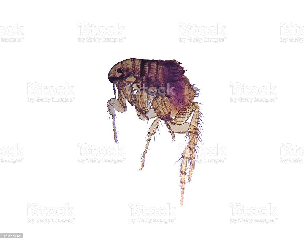 Microscope-Flea (Ctenocephalides) royalty-free stock photo