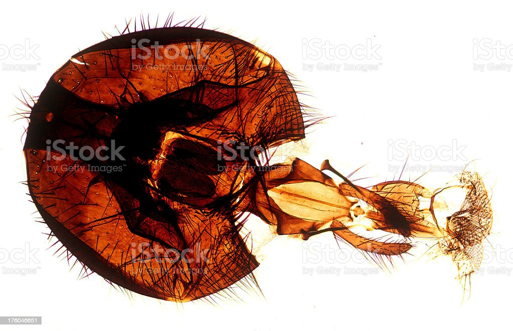 Microscopic image of a Fly Head royalty-free stock photo