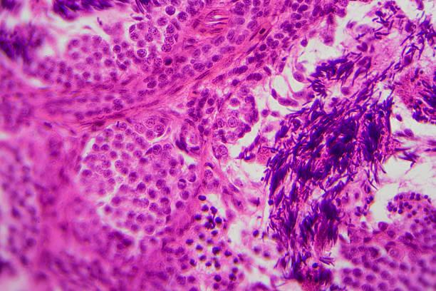 Microscopic image of dense connective tissue stock photo