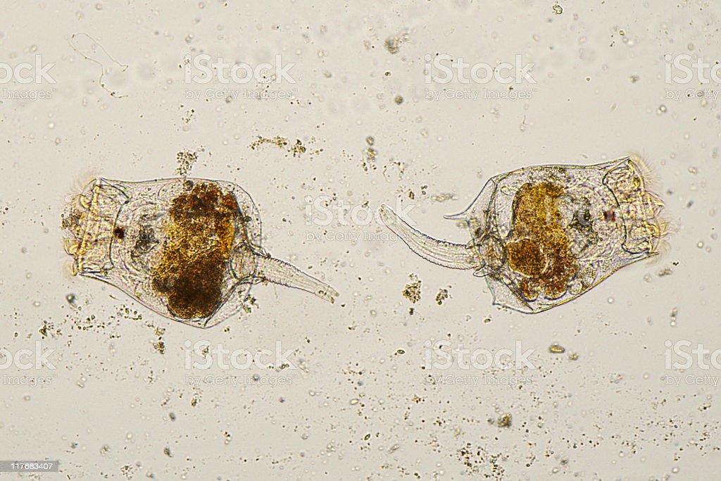 Microscopic image of Rotifers. stock photo