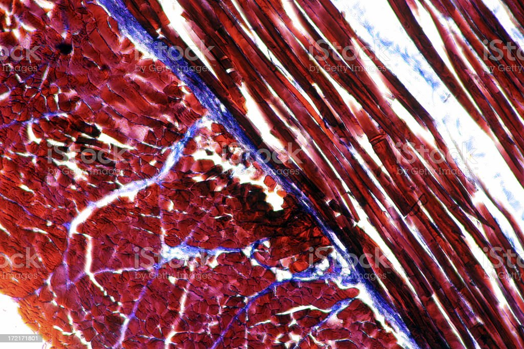 Microscopic image of striated muscle stock photo