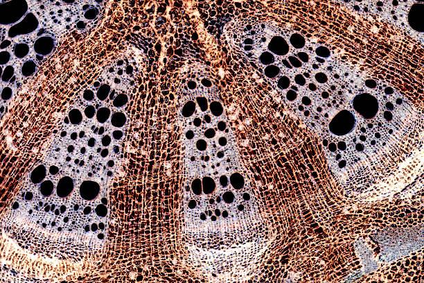 Microscopic Image: stem cross section stock photo