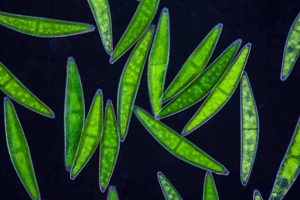 microscopic organism Chlorophytes Desmidiaceae Closterium spec. stock photo