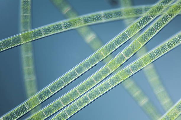microscopic organism green algea Spirogyra stock photo