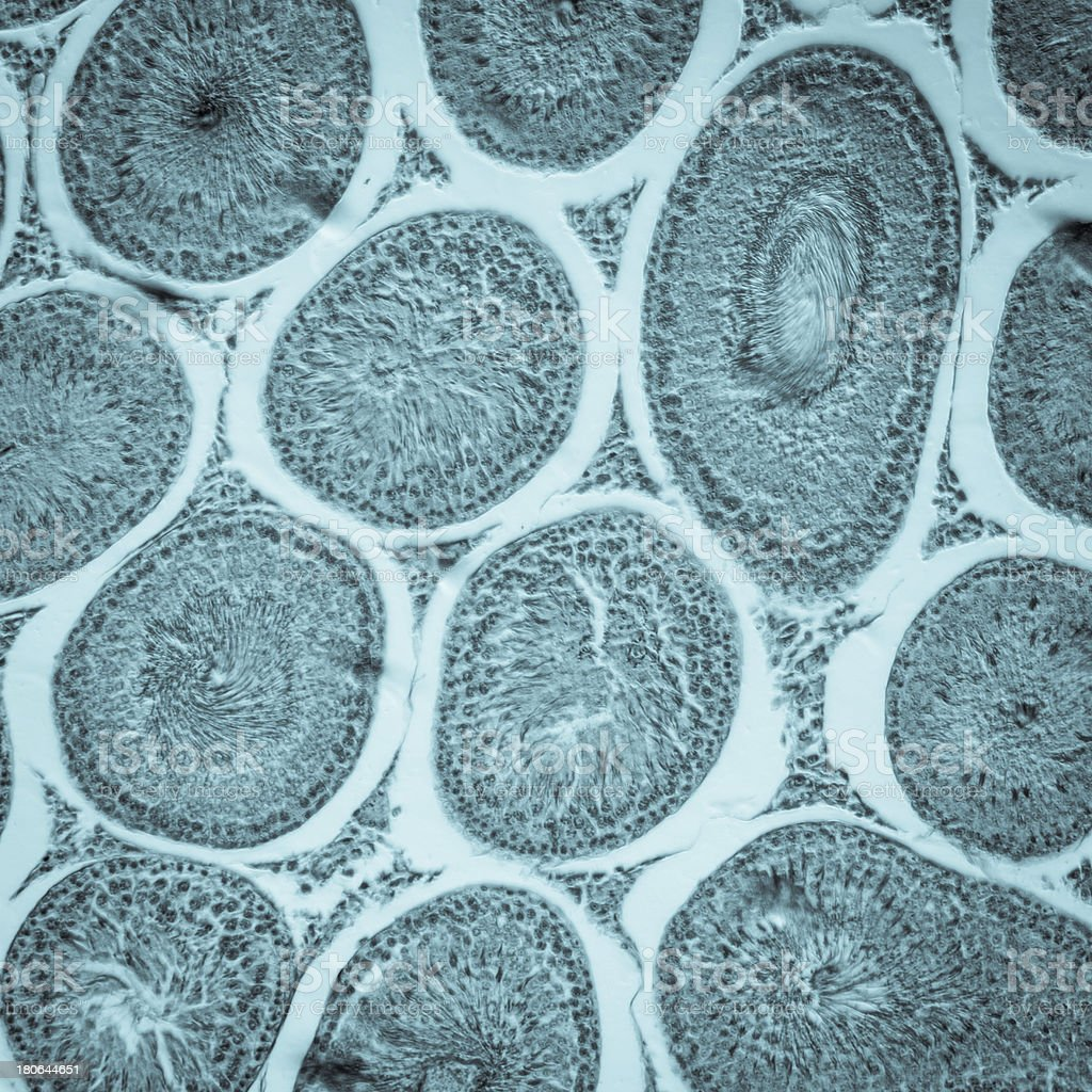 Microscópico de la sección de tejido T.S testículos - foto de stock