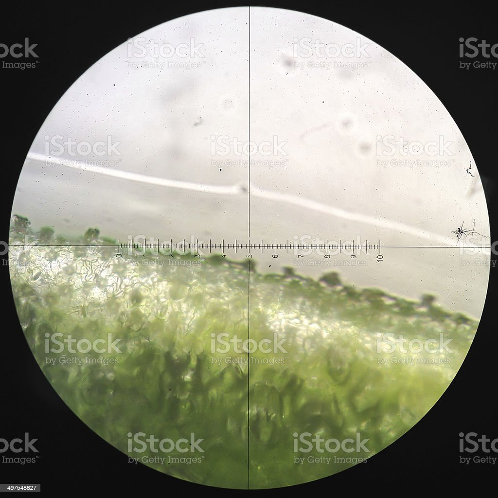 Microscopic transverse section   stem x100 showing xylem, phloem stock photo
