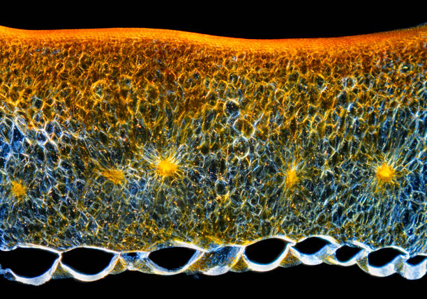 Microscopic view of a Chili pepper (Capsicum annuum) fruit pericarp cross-section stock photo