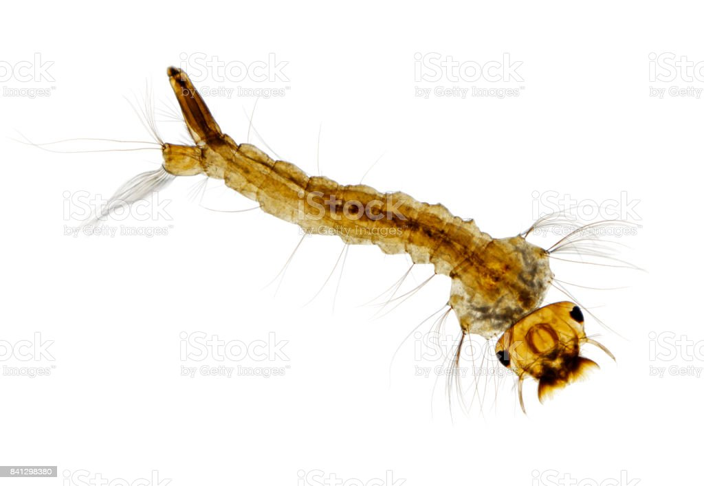 Microscopic view of Mosquito (Aedes) larva stock photo