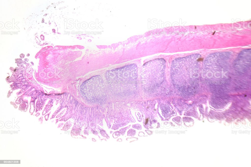 Microscopy Photography. Large intestinal. Transversal Section. stock photo