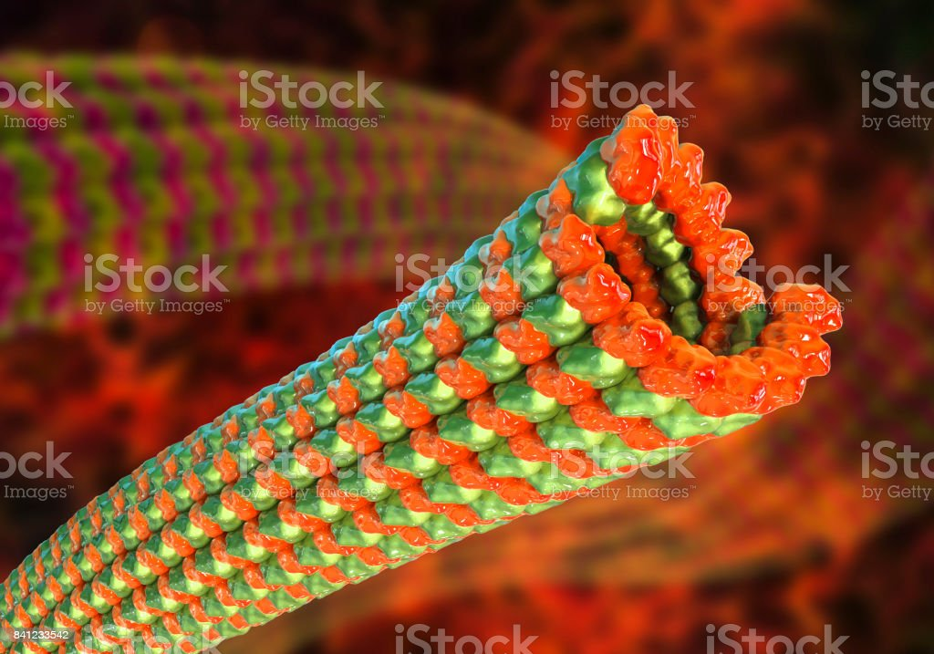 Microtubule, a polymer composed of a protein tubulin stock photo