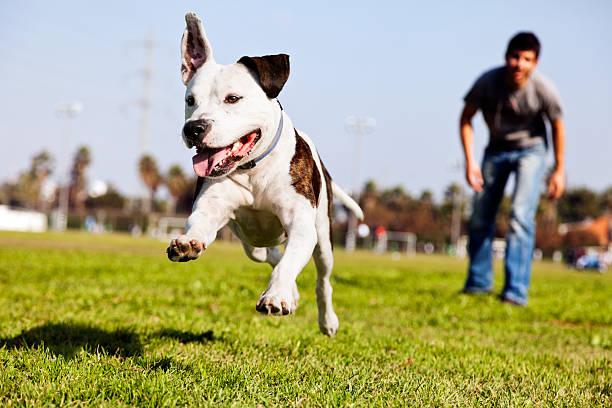 Midair running pitbull dog picture id161710295?b=1&k=6&m=161710295&s=612x612&w=0&h=lsswjdrc4 j 6rezfevhzex2b8zd1hjomqcswsr3rpy=